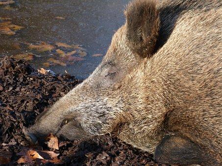 Boar, Mammal, Wild, Forest, Hunting, Fur