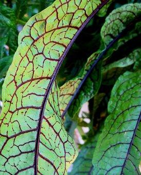 Leaves, Edible, Green, Red Veining, Sorrel, Plant