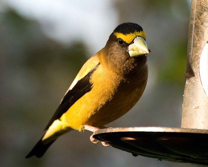 Vespertinus, Coccothraustes, Bird, Evening, Grosbeak