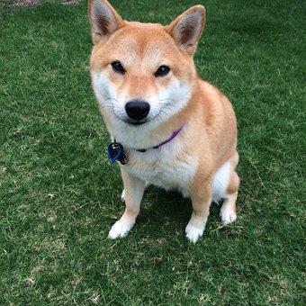Shiba Inu, Dog, Doge Meme, Spitz Breeds, Japanese