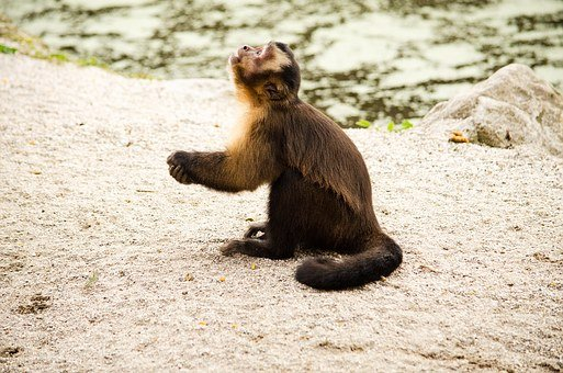 Capuchin, Monkey, Zoo, Tiergarten, Capuchins, Pray