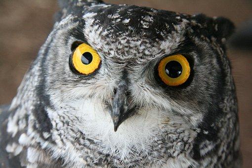 Owl, Bird, Eyes, Animal, Wild, Feather, Fly, Gray Owl