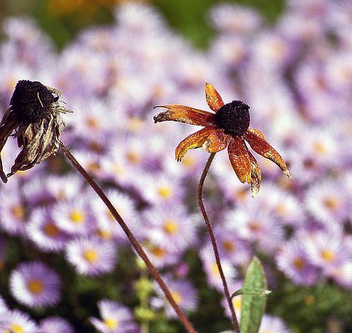 Flower, Withered, Usychający, Przekwitający, Nature