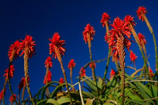 Torch Aloe, Red, Flower, Fire Plant, Blossom