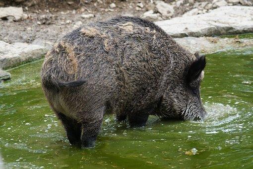 Boar, Schwarzkittel, Bache
