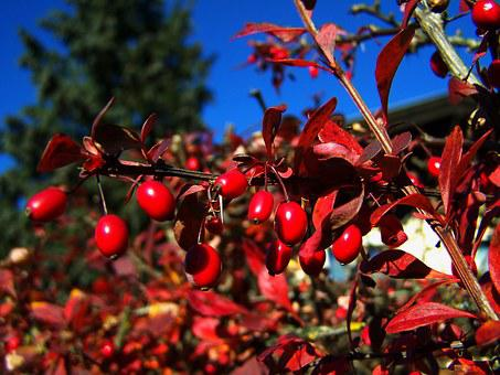 Red Berries, Fall Harvest, Sorrel Barberries