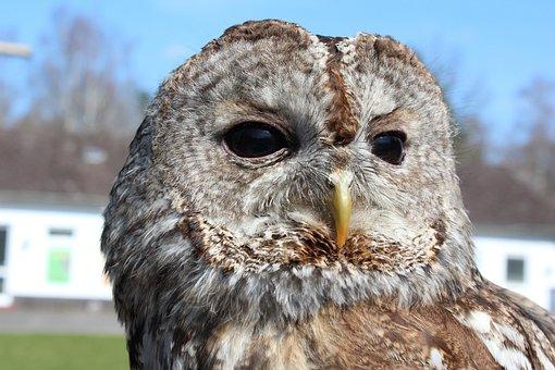 Tawny Owl, Strix Aluco, Owl, Bird, Close, Animals