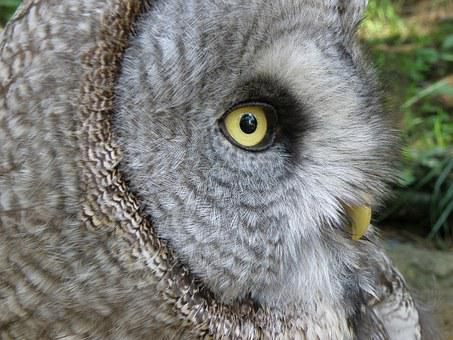 Tawny Vulture, Tawny Owl, Owl, Predators