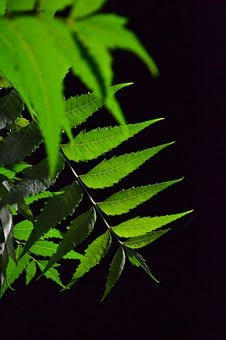 Kohoma Tree Leaf, Herbal Tree, Tree, Leaf, Green
