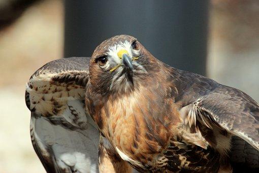 Hawk, Bird, Animal, Beak, Nature, Wild, Wildlife, Prey