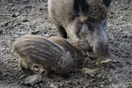 Mother, Bache, Wild Boar, Mother With Children