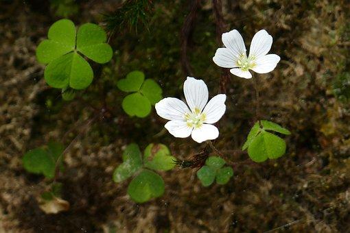 Common Wood Sorrel, Wild Flower, Blossom, Bloom, Plant