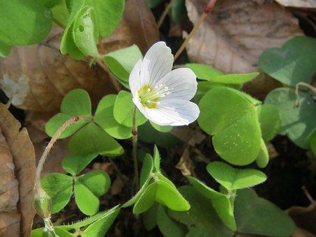 Oxalis Acetosella, Wood Sorrel, Common Wood Sorrel