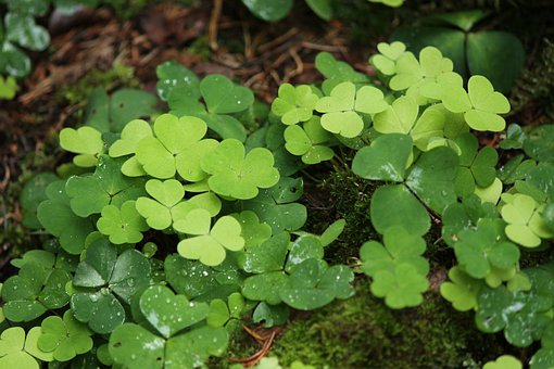 Wood Sorrel, Woodsorrel, Wood-sorrel, Oxalis
