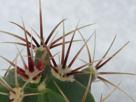 Spur, Cactus, Ferocactus Latispinus, Ferocactus