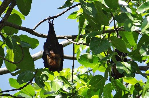 Bat, Flying Fox, Animal, Mammal, Hang, Hanging, Claws