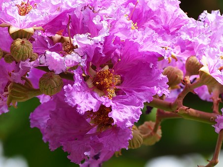 Big Flower, Crape Myrtle, Pink And Purple, Taipei
