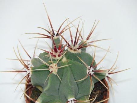 Cactus, Ferocactus Latispinus, Ferocactus