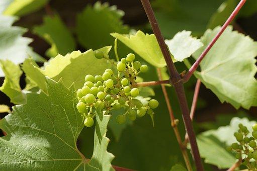 Wine, Vines, Grow, Grapes, Summer, Green, Vineyard
