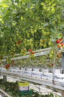 Tomatoes, Cherry Tomatoes, Greenhouse, Hors-sol