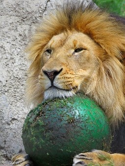 Lion, Calgary Zoo, Lion With Ball, Lion Playing
