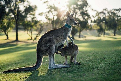 Australia, Kangaroo, Outback, Oz, Victoria, Aussie