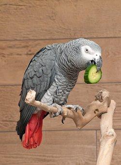 Parrot, African Grey, Bird, Cucumber, Eating, Perch