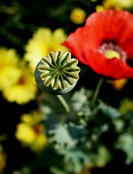 Poppy, Pod, Green, Box-like, Serated Edge, Red, Daisies