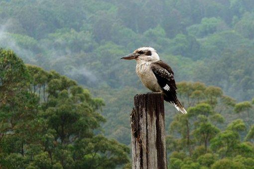Kookaburra, Montville, Sunshine Coast, Aussie Icon