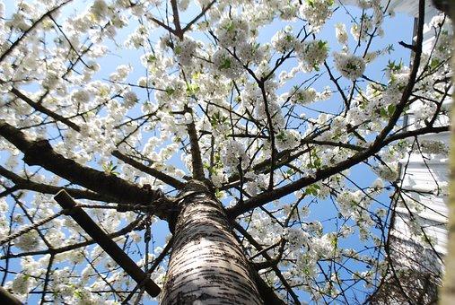 Tree, Flowers, Spring, Flower, Cherry, Fruit Tree