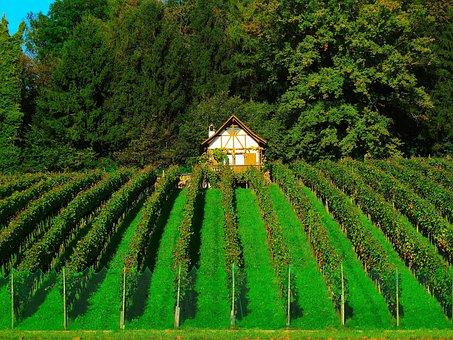 Vineyard, Wine Cultures, Vine Plants, Winemaker, Nature