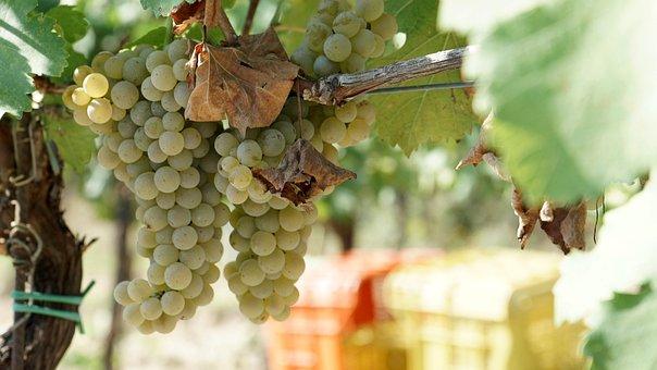 Grapes, Wine, Vinotoscano, Paesaggitoscani, Tuscany
