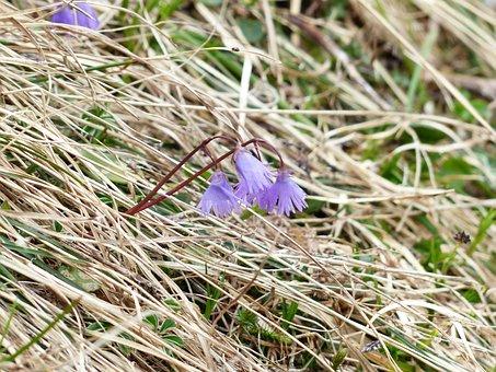 Alpine Soldanella, Blossom, Bloom, Flower, Violet