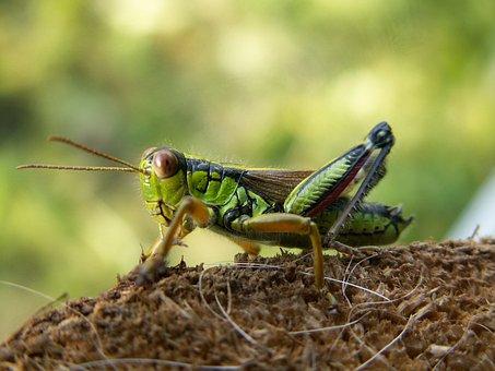 Grasshopper, Alpine Gebirgsschrecke, Miramella Alpina