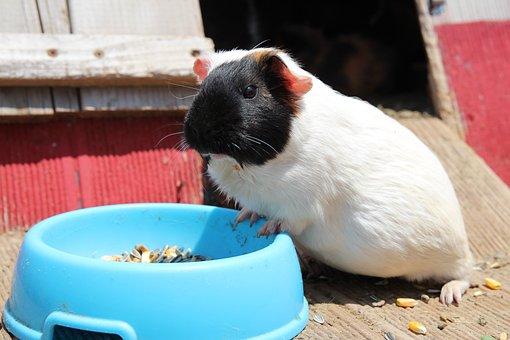 Guinea Pigs, Pet Rat, Pet, Hamster, Rat, Animal