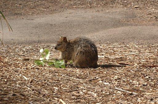Quokka, Animal, Short Tail Wallaby, Setonix Brachyurus