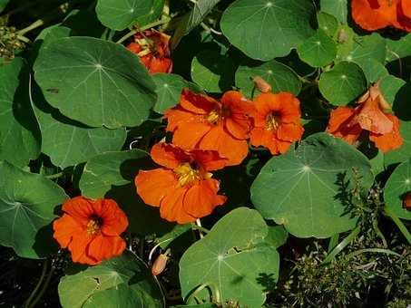 Nasturtium, Blossom, Bloom, Flower, Orange