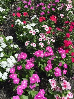 Vinca, Flowers, Nature, Blossom