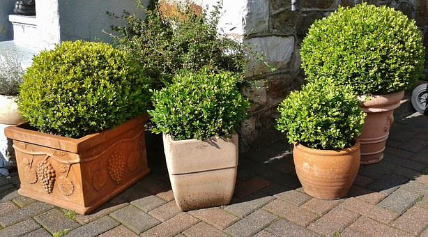 Boxwood, Buxus, Book, Green, Buxus Sempervirens