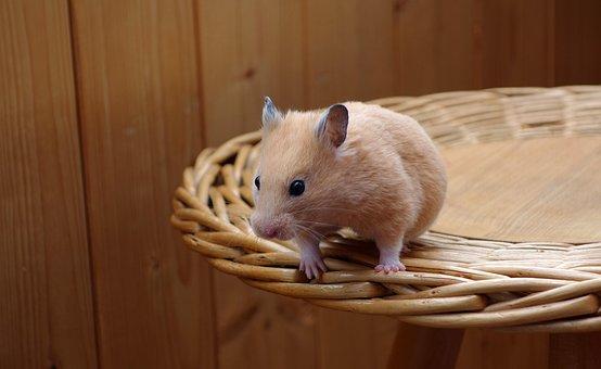 Hamster, Golden, Animal, Wood, Brown, Nature, Wooden