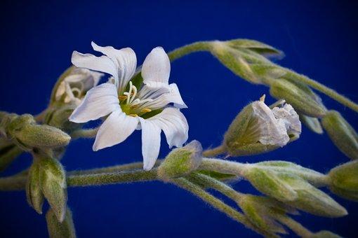 Cerastium Tomentosum, Small Flowers, White, Bloom