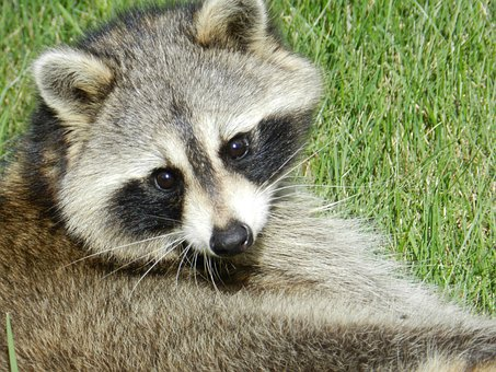 Raccoon, Animal, Cute, Mammal, Procyon Lotor, Face