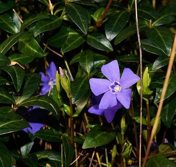 Blue, Periwinkle, Vinca Minor, Ground Cover, Plant