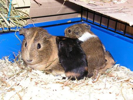 Guinea-pig, Female, Mother, Brood, Cage