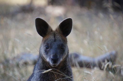Wallaby, Australia, Kangaroo, Marsupial, Mammal