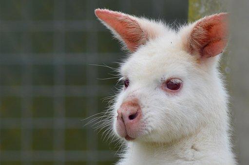 Wallaby, Kangaroo, Aminal Portrait, Zoo, Animals