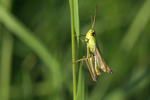 Grasshopper, Insect, Close Up, Green, Macro