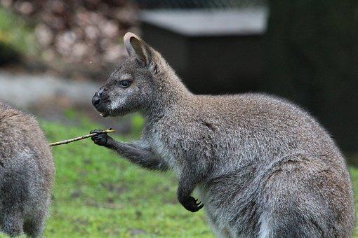 Bennett, Kangaroo, Red Necked Wallaby, Macropus