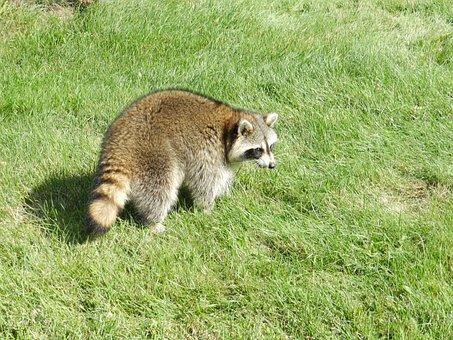 Raccoon, Animal, Procyon Lotor, Nature, Wildlife, Cute