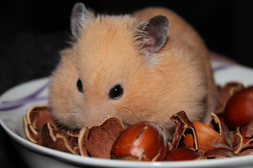 Goldhamster, Hamster, Animal, Nuts